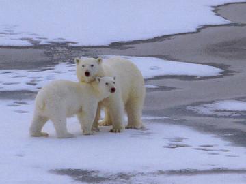 Gemeinsame Polargebiete – Tiere #JP_15