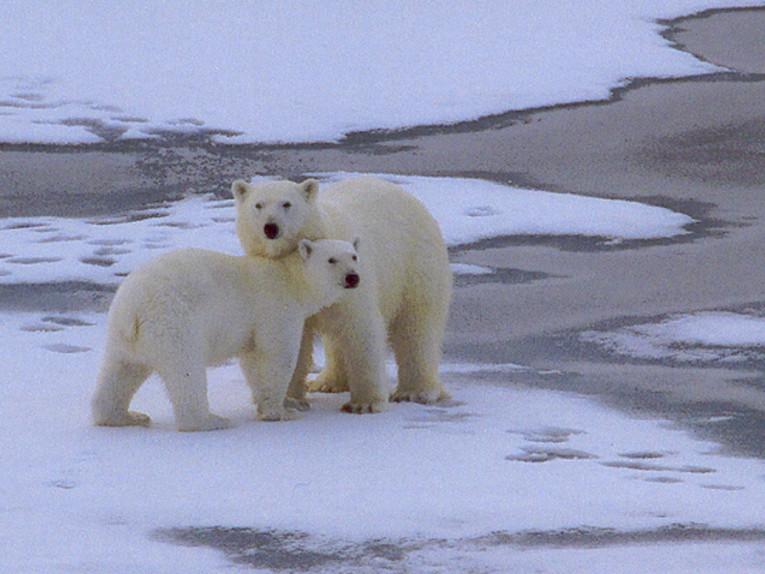 Eisbären in der russischen Hocharktis (Foto: Frank Blache)
